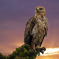 Buy canvas prints of African Tawny Eagle by Stephen Smith