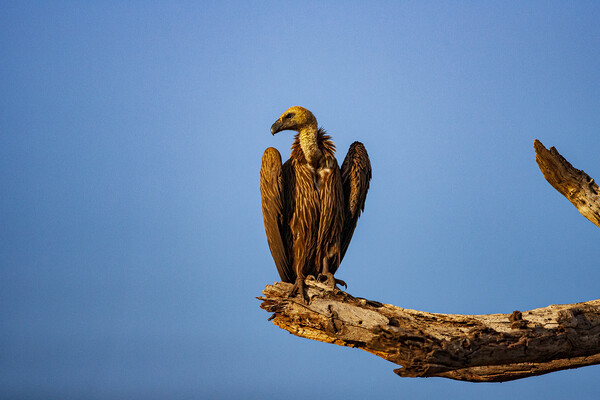 Vulture Canvas Print by Stephen Smith
