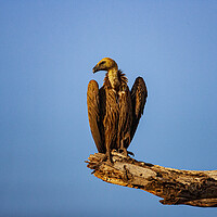 Buy canvas prints of Vulture by Stephen Smith