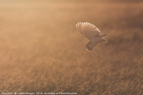 Barn Owl at sunset Canvas print by Lytton Images