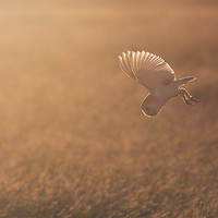 Buy canvas prints of Barn Owl at sunset by Lytton Images