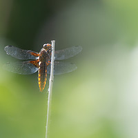 Buy canvas prints of Broad bodied Chaser female by Lytton Images