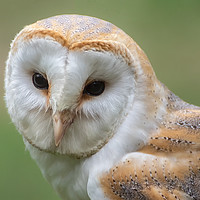 Buy canvas prints of Barn Owl Portrait  by Lytton Images