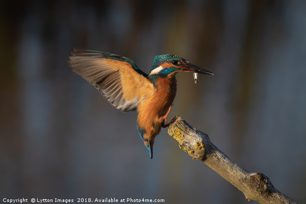 Kingfisher Landing Canvas print by Lytton Images