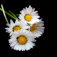 Buy canvas prints of Daisies by kevin snelling
