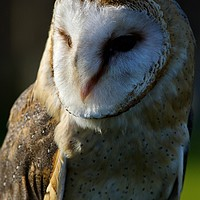 Buy canvas prints of The Happy contented Barn Owl by James Allen