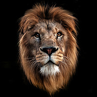 Buy canvas prints of Lion portrait by Tom Dolezal