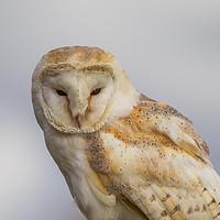 Buy canvas prints of Barn owl portrait by Tom Dolezal