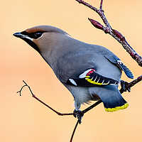 Buy canvas prints of Bohemian Waxwing  by Paul Welsh
