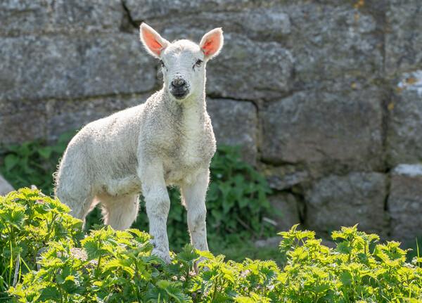 Single new born lamb backlit against stone wall Framed Print by Steve Heap