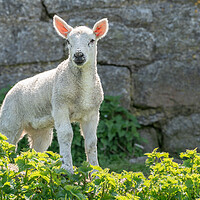 Buy canvas prints of Single new born lamb backlit against stone wall by Steve Heap
