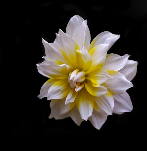 White Dahlia (Mobile Photography) Canvas print by Indranil Bhattacharjee