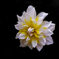 Buy canvas prints of White Dahlia (Mobile Photography) by Indranil Bhattacharjee