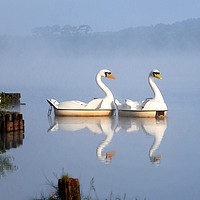 Buy canvas prints of Not really swans in the mist        by Peter Balfour
