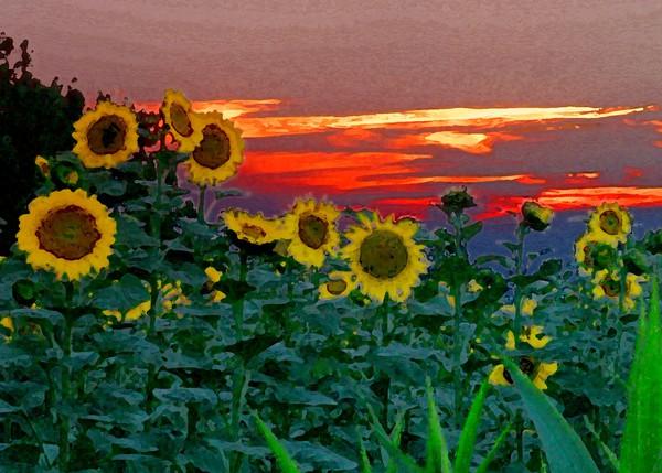 Sunflower Sunset Canvas print by Peter Balfour
