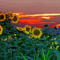 Buy canvas prints of Sunflower Sunset by Peter Balfour