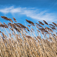 Buy canvas prints of Lakeside Reeds by Peter Zabulis