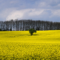 Buy canvas prints of Field of Yellow by Peter Zabulis