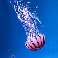 Buy canvas prints of Pink Jellyfish in deep blue water  by Gary Parker