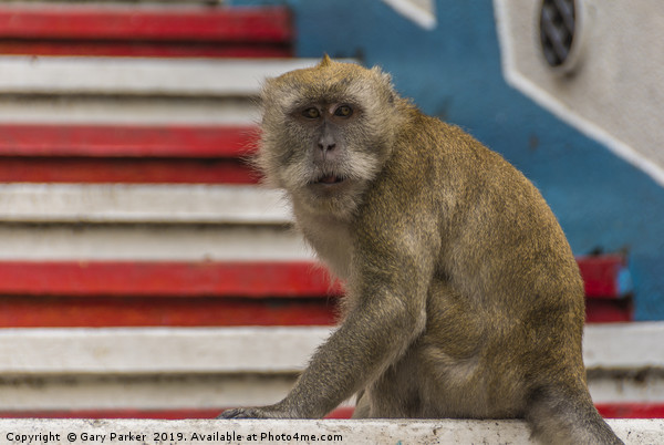A Macaque monkey in Kuala Lumpur, Malaysia  Framed Print by Gary Parker