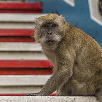 Buy canvas prints of A Macaque monkey in Kuala Lumpur, Malaysia  by Gary Parker