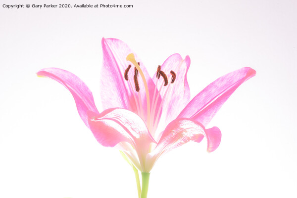 A single, pink Lilly, in blossom Canvas Print by Gary Parker