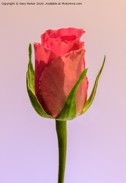 A single, pink Rose  Canvas Print by Gary Parker