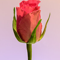 Buy canvas prints of A single, pink Rose  by Gary Parker