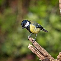Buy canvas prints of Great Tit, Parus Major by Rob Cole