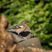 Buy canvas prints of Chaffinch, Fringilla coelebs by Rob Cole
