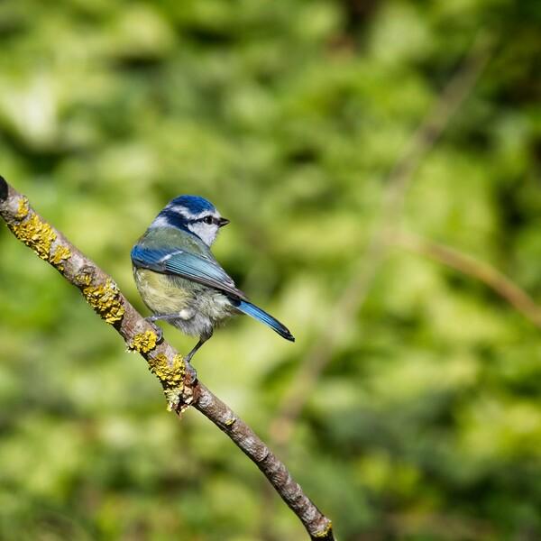 Blue Tit, Cyanistes caeruleus Acrylic by Rob Cole