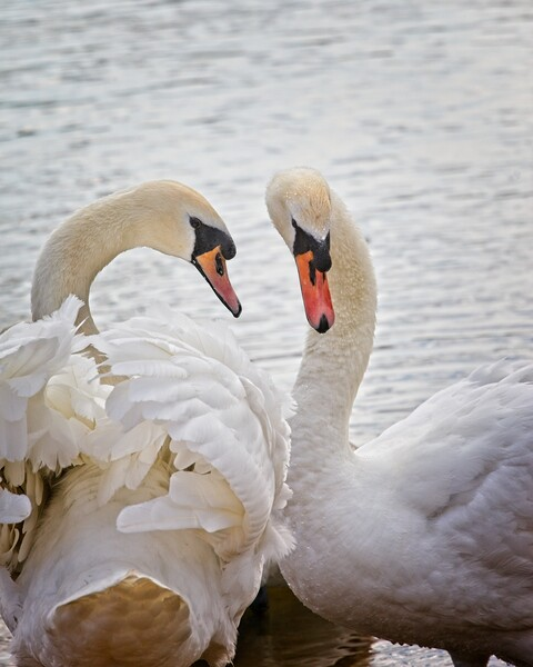 Mute Swans, Cygnus olor Print by Rob Cole