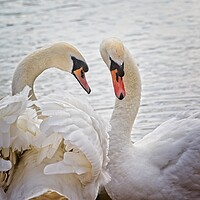 Buy canvas prints of Mute Swans, Cygnus olor by Rob Cole