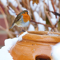 Buy canvas prints of Robin Redbreast (Erithacus rubecula) by Rob Cole