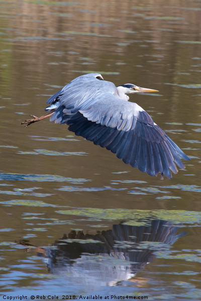 Grey Heron (Ardea cinerea) Print by Rob Cole