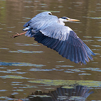 Buy canvas prints of Grey Heron (Ardea cinerea) by Rob Cole
