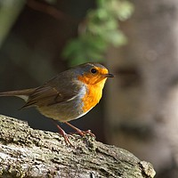 Buy canvas prints of Robin Red Breast (Erithacus rubecula) by Rob Cole