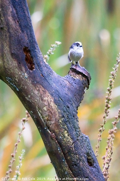 Long Tailed Tit (Aegithalos caudatus) Canvas print by Rob Cole