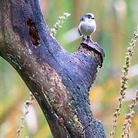 Buy canvas prints of Long Tailed Tit (Aegithalos caudatus) by Rob Cole