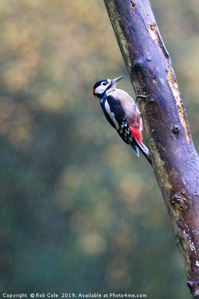Great Spotted Woodpecker (Dendrocopos major) Canvas Print by Rob Cole