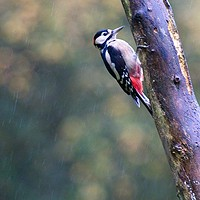 Buy canvas prints of Great Spotted Woodpecker (Dendrocopos major) by Rob Cole
