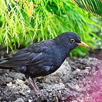 Buy canvas prints of A Male Blackbird, Terdus merula, in an Urban Garde by Rob Cole