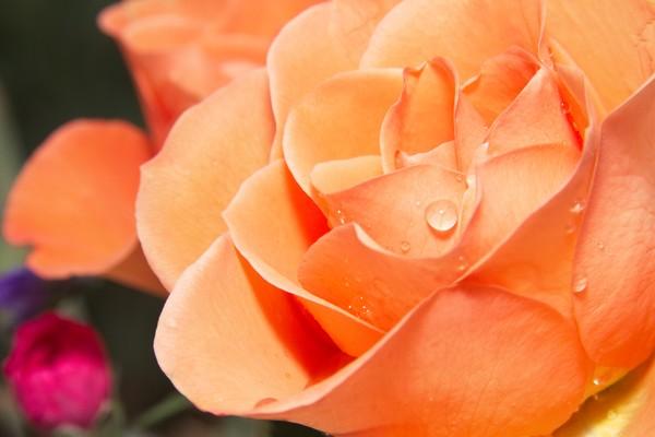 Raindrops on Orange Rose Petals Framed Print by Rob Cole