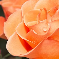 Buy canvas prints of Raindrops on Orange Rose Petals by Rob Cole