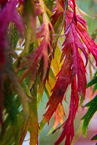 Autumnal Acer Leaves Canvas Print by Rob Cole