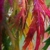 Buy canvas prints of Autumnal Acer Leaves by Rob Cole