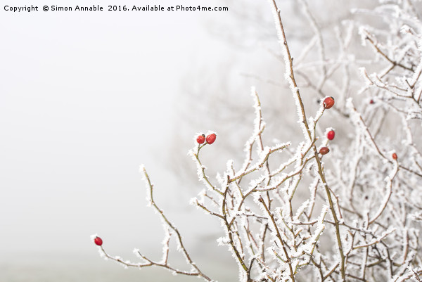 Winter Berries Canvas print by Simon Annable