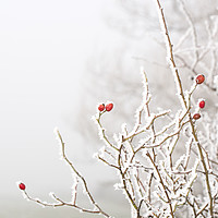 Buy canvas prints of Winter Berries by Simon Annable