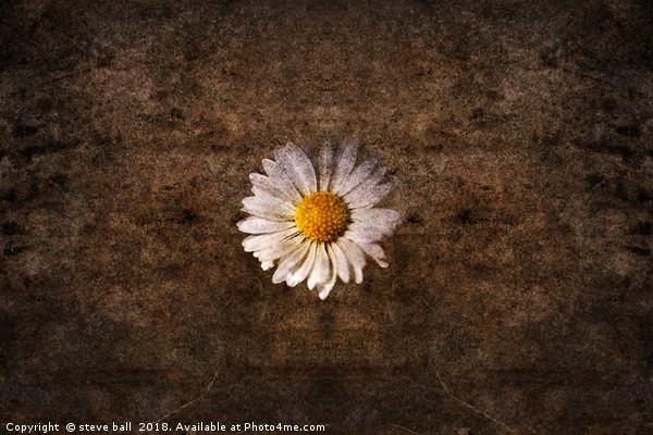Grunge daisy  Canvas Print by steve ball