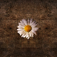 Buy canvas prints of Grunge daisy  by steve ball